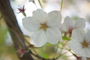 快晴の春/桜25の写真素材 [FYI00089733]
