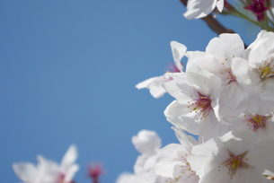 快晴の春/桜37の写真素材 [FYI00089734]