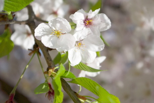 快晴の春/桜30の写真素材 [FYI00089735]