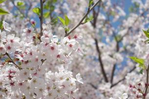 快晴の春/桜29の写真素材 [FYI00089736]