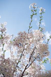 快晴の春/桜63の写真素材 [FYI00089737]