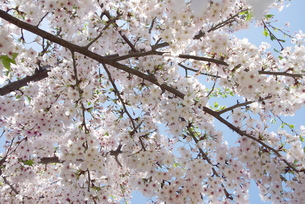 快晴の春/桜62の写真素材 [FYI00089738]