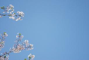 快晴の春/桜28の写真素材 [FYI00089739]