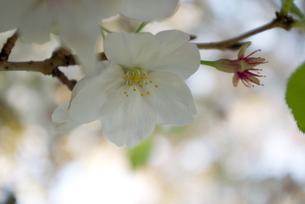 快晴の春/桜26の写真素材 [FYI00089740]