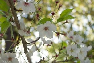 快晴の春/桜24の写真素材 [FYI00089741]