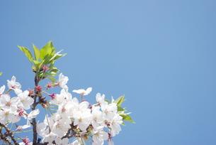 快晴の春/桜45の写真素材 [FYI00089742]