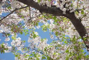 快晴の春/桜19の写真素材 [FYI00089743]