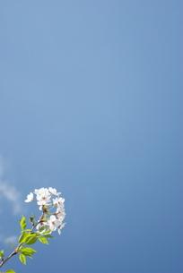 快晴の春/桜27の写真素材 [FYI00089744]