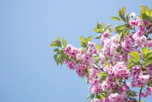快晴の春/桜15の写真素材 [FYI00089745]