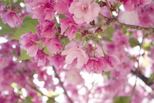 快晴の春/桜09の写真素材 [FYI00089746]
