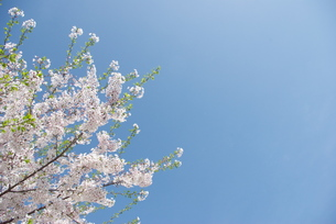 快晴の春/桜17の写真素材 [FYI00089749]