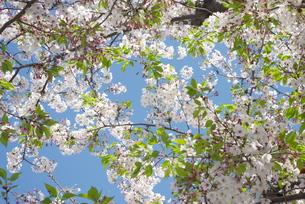 快晴の春/桜20の写真素材 [FYI00089750]
