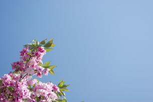 快晴の春/桜16の写真素材 [FYI00089751]