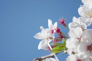 快晴の春/桜34の写真素材 [FYI00089752]