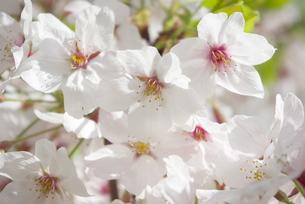 快晴の春/桜04の写真素材 [FYI00089756]