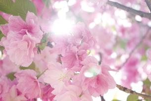 快晴の春/桜07の写真素材 [FYI00089757]