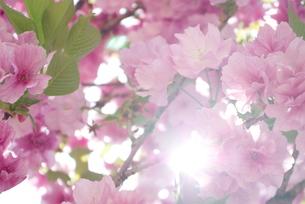 快晴の春/桜08の写真素材 [FYI00089758]
