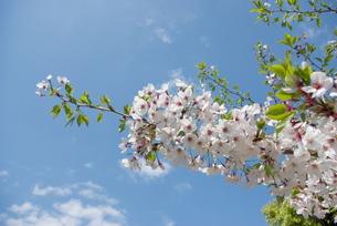 快晴の春/桜01の写真素材 [FYI00089759]