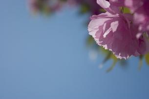 快晴の春/桜10の写真素材 [FYI00089760]