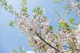 快晴の春/桜02の写真素材 [FYI00089763]