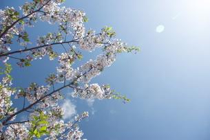 快晴の春/桜12の写真素材 [FYI00089766]