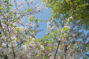 快晴の春/桜21の写真素材 [FYI00089770]