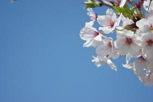 快晴の春/桜32の写真素材 [FYI00089772]
