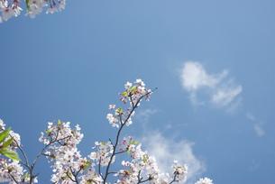 快晴の春/桜13の写真素材 [FYI00089773]