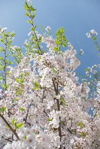 快晴の春/桜18の写真素材 [FYI00089775]