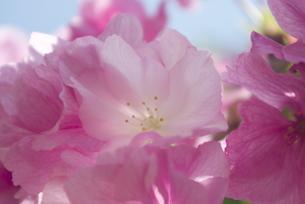 快晴の春/桜11の写真素材 [FYI00089781]