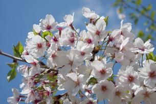 快晴の春/桜03の写真素材 [FYI00089784]