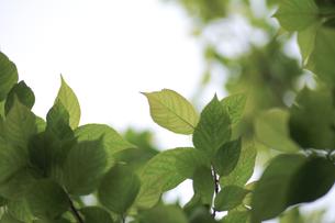新緑(桜の葉)009の写真素材 [FYI00090203]