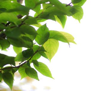 新緑(桜の葉)004の写真素材 [FYI00090205]