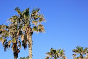 青空に向かう椰子の木004の写真素材 [FYI00090210]