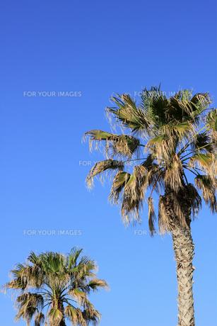 青空に向かう椰子の木007の素材 [FYI00090216]