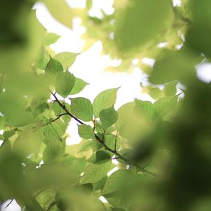 新緑(桜の葉)002の写真素材 [FYI00090220]