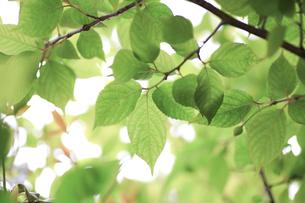 新緑(桜の葉)003の写真素材 [FYI00090222]