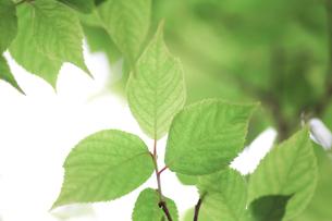 新緑(桜の葉)005の写真素材 [FYI00090223]