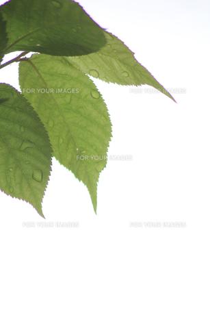 新緑(桜の葉)018の素材 [FYI00090225]