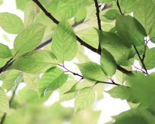 新緑(桜の葉)015の写真素材 [FYI00090227]