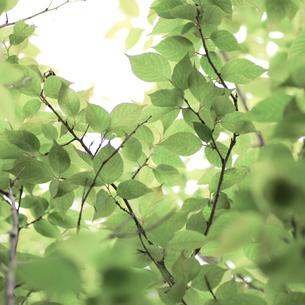 新緑(桜の葉)016の写真素材 [FYI00090228]