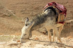驢馬/砂漠/イスラエル003の写真素材 [FYI00090230]
