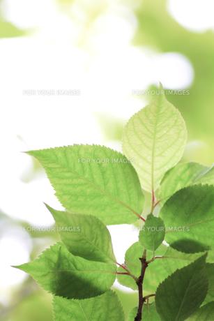 新緑(桜の葉)017の素材 [FYI00090248]