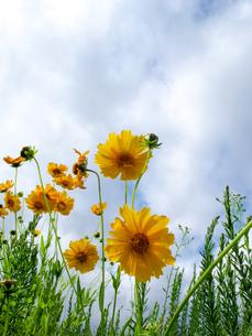金鶏菊の写真素材 [FYI00090290]