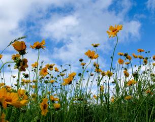 金鶏菊の写真素材 [FYI00090308]