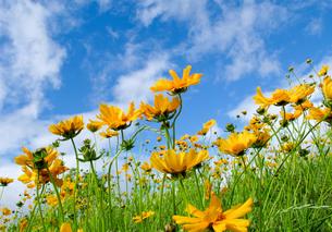 金鶏菊の写真素材 [FYI00090321]