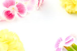 カーネーション/なでしこ/スタジオ撮影の写真素材 [FYI00090436]