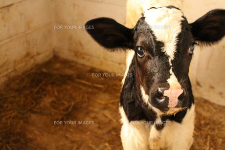 牛の写真素材 [FYI00090679]