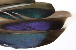 鳥の羽の写真素材 [FYI00090704]