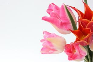 チューリップ ピンクの写真素材 [FYI00090728]